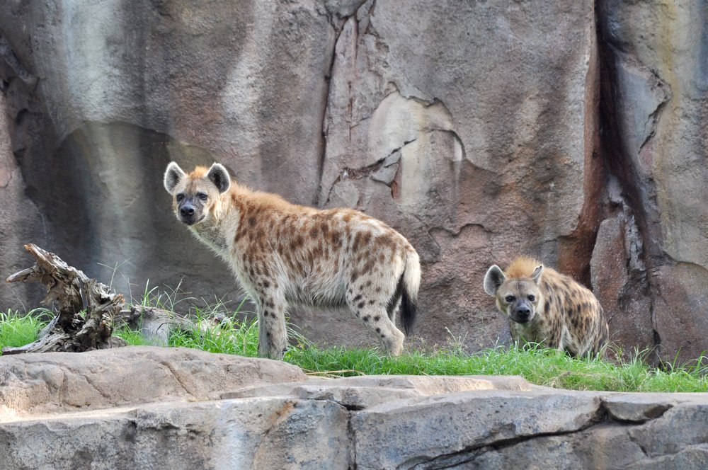 spotted hyenas animal enrichment