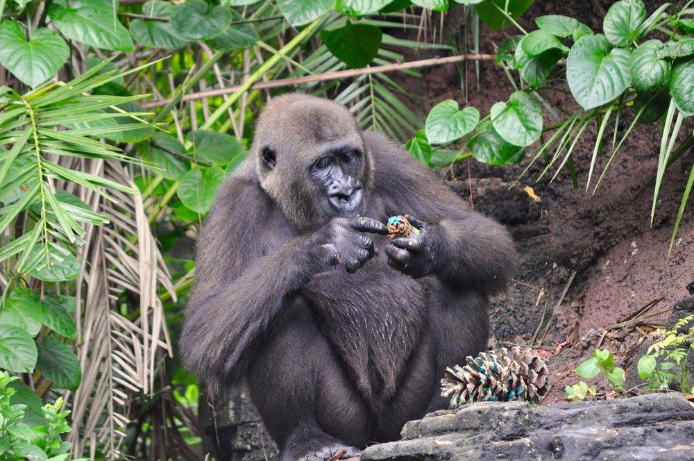 Gorilla Pine cone.jpg