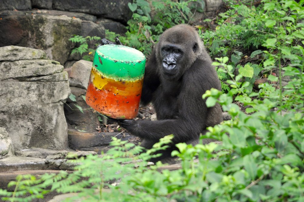 Gorilla ice block 1.jpg