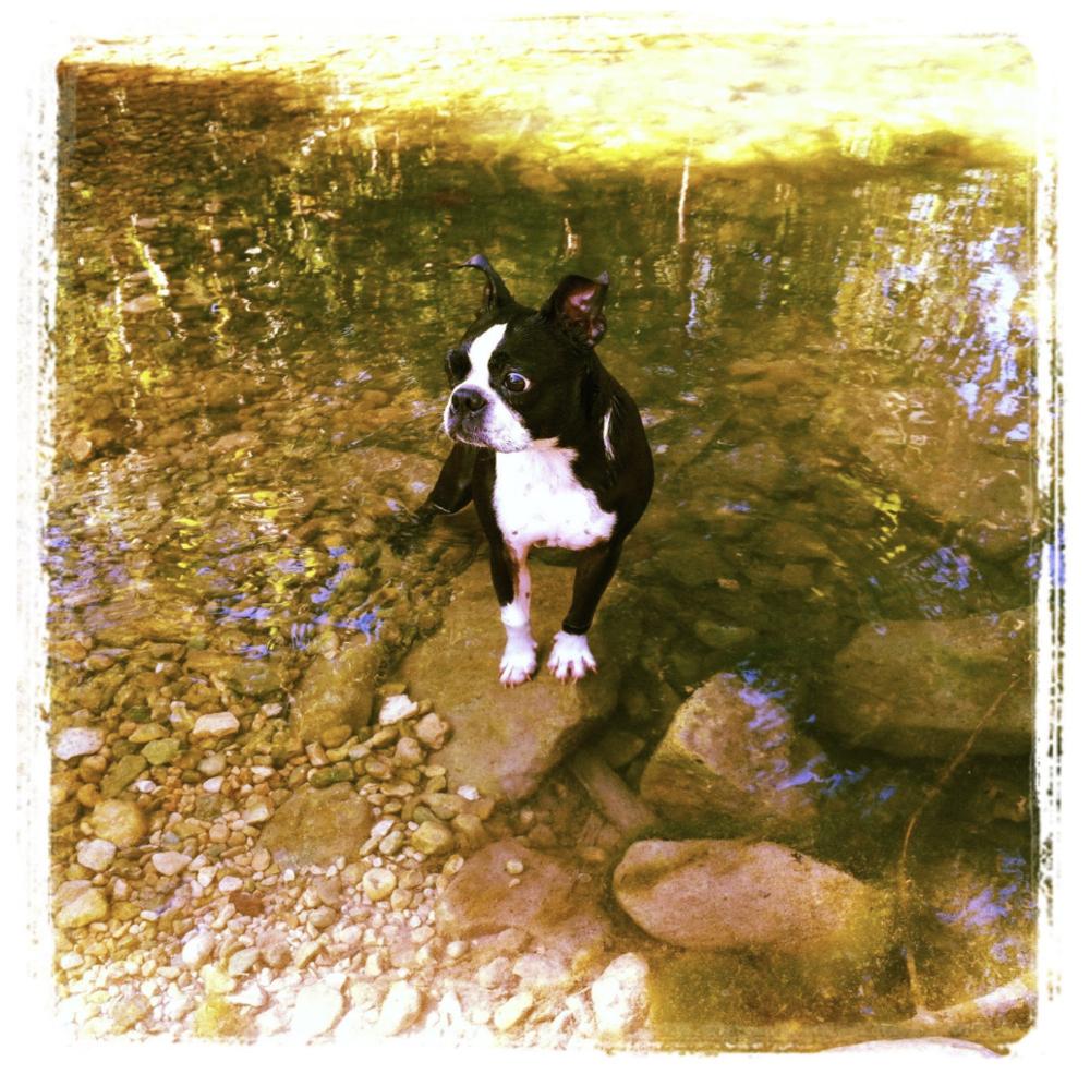 Miss Piggy boston terrier loves to swim.png