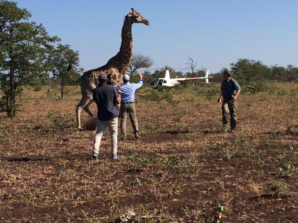 Collaring giraffe with Julian Fennesy. Actually, the first giraffe ever collared in Zimbabwe.
