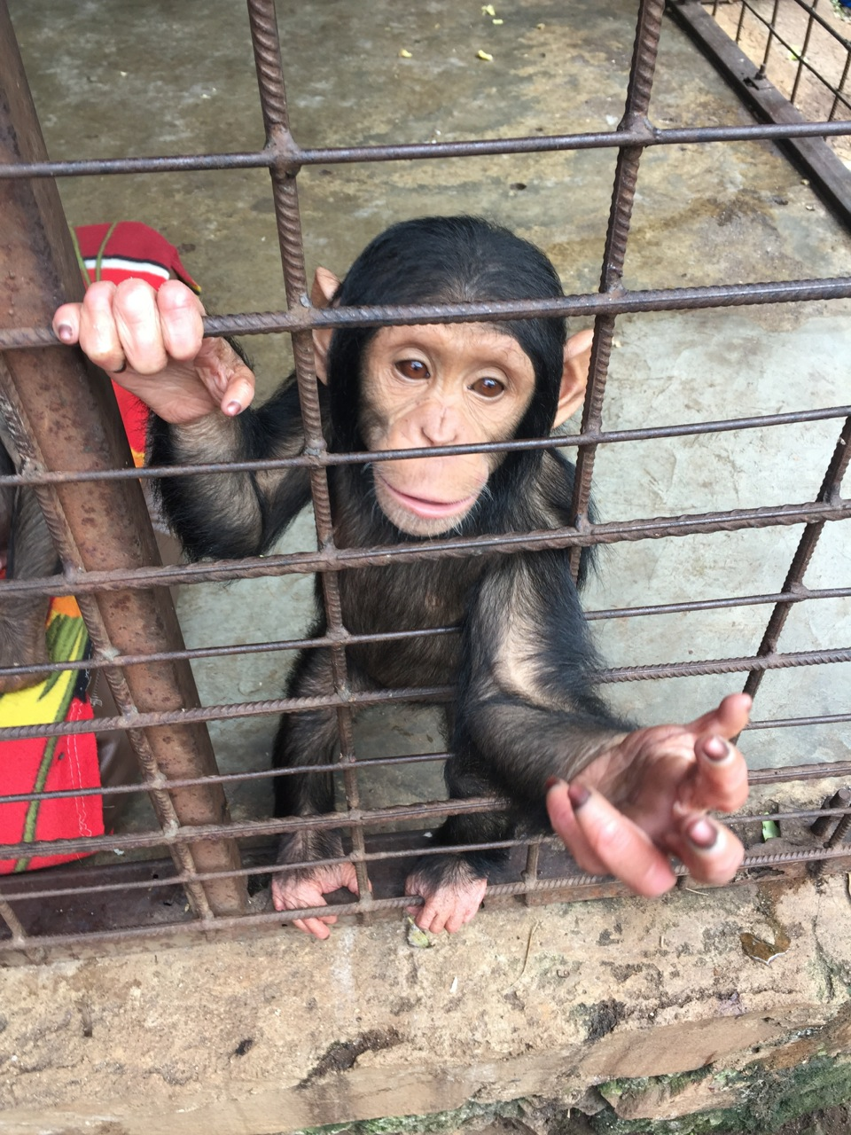 Lwiro Chimpanzee Sanctuary. This little guy confiscated as he was en route to an eastern country as part of the illegal live animal trade.