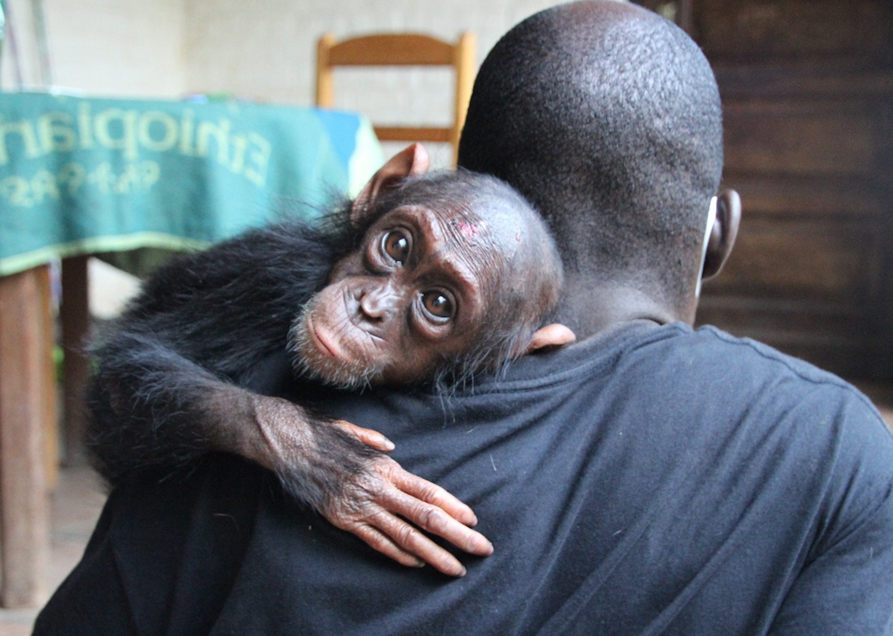 Lwiro Chimpanzee Rehabilitation Centre To date support of this project : $56,500