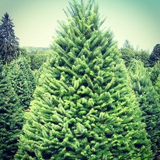Our #christmastree come directly from Canada, guaranteeing the freshest trees in the #southshore!! Visit our Christmas tree lot at 850 Chief Justice Cushing hwy!!🎄