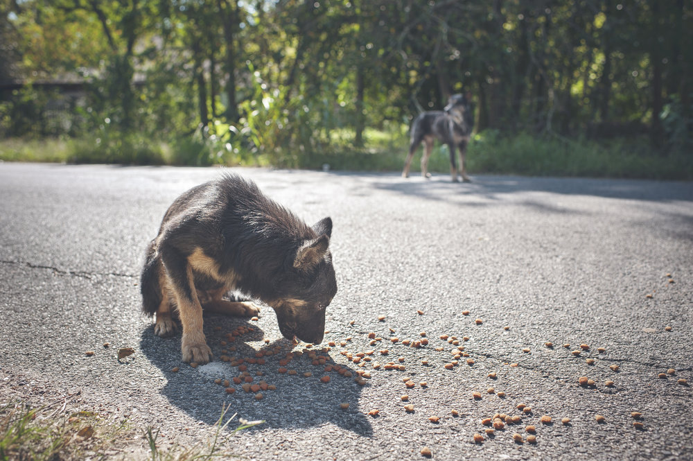 "A stray german shepherd puppy living in the ""Corridor of Cruelty"" eats food put out by peacelovedogs."