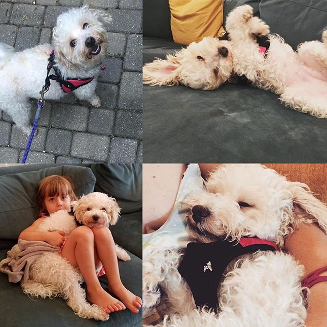 Ruby was officially adopted by her foster family in NYC!! ❤️ She came to us from a local shelter as an owner surrender- she was matted, flea infested, skin infection and needing knee surgery and a dental She recovered very well from her surgery!! Her mom works for the ASPCA, how cool is that?!! Her family absolutely adores her! #adoptdontshop #saveashelterdog #doodlesofinstagram #spayandnueter #happilyeverafter