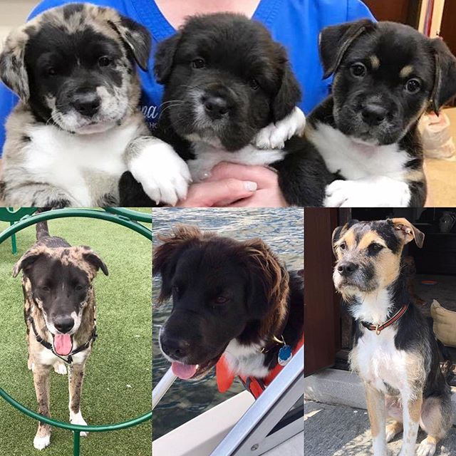 Delilah's puppies a year ago and now! Sgt. Pepper, George Bailey & Stella. #adoptdontshop #puppiesofinstagram #spayandnueter #dogsofnewengland #fluffysquad