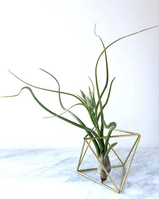Getting excited for market season! Another weekend of productivity complete..... looking forward  to receiving my next shipment of air plants ..... Best part of the market season is pairing up my Himmelis with gorgeous healthy plants. Very satisfying!