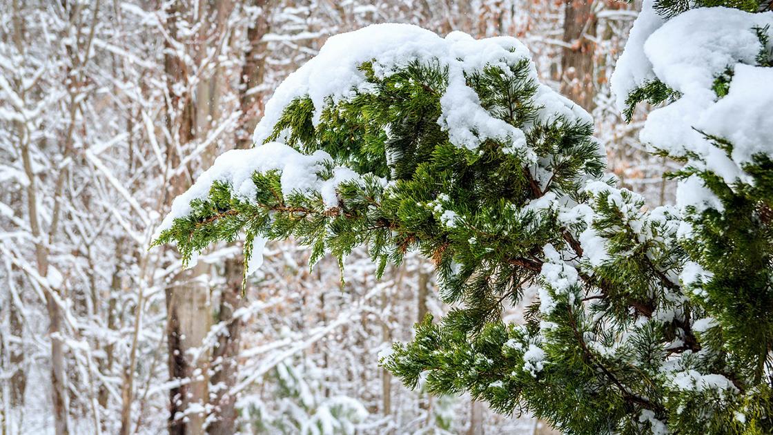 4 Best Juniper Cultivars for your Winter Landscape Design