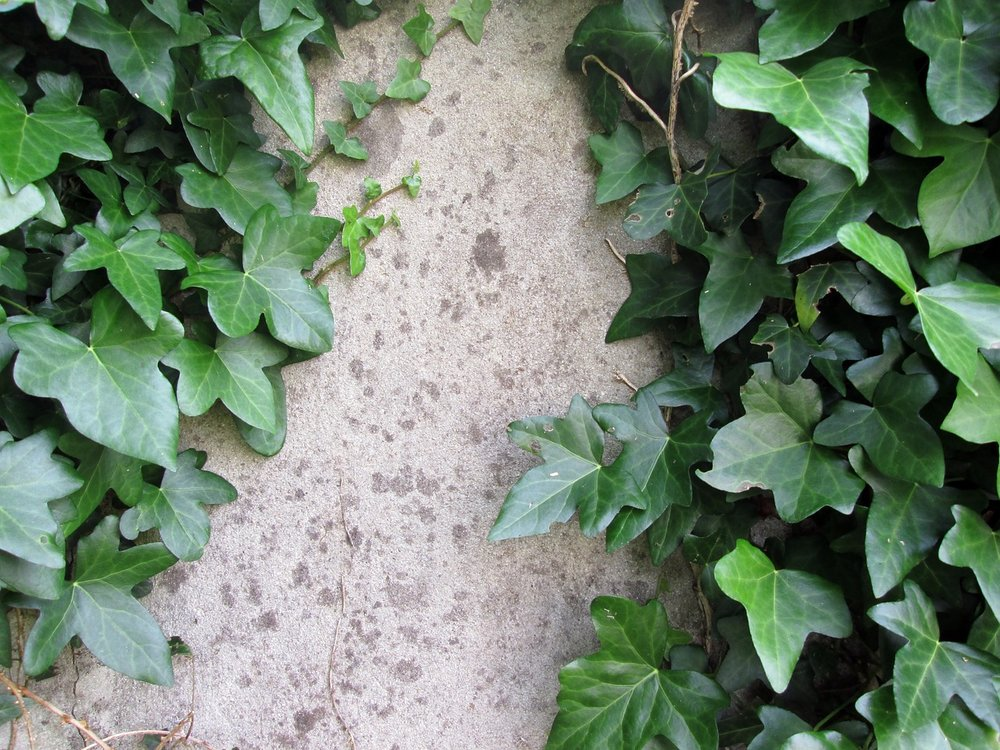 4 Best Ivy Cultivars for your Westchester County Landscaping