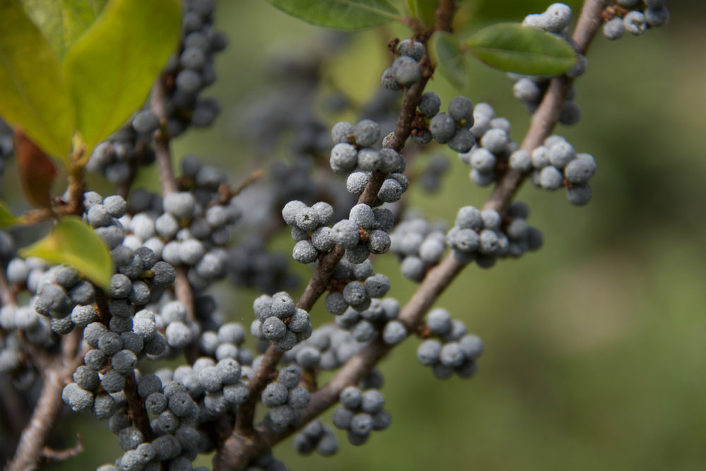 6 Shrubs for Minimalist Westchester County, NY Landscaping