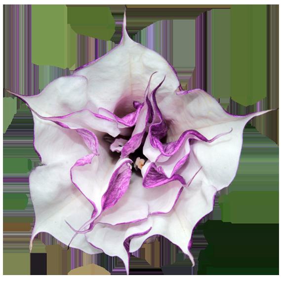 dautra-flower2.png