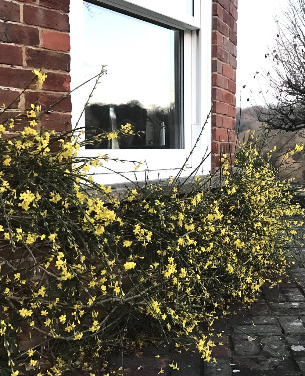 A riot of colour from Winter Jasmine.