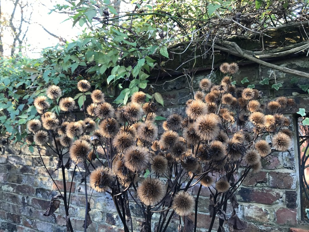 Ligularia seed heads