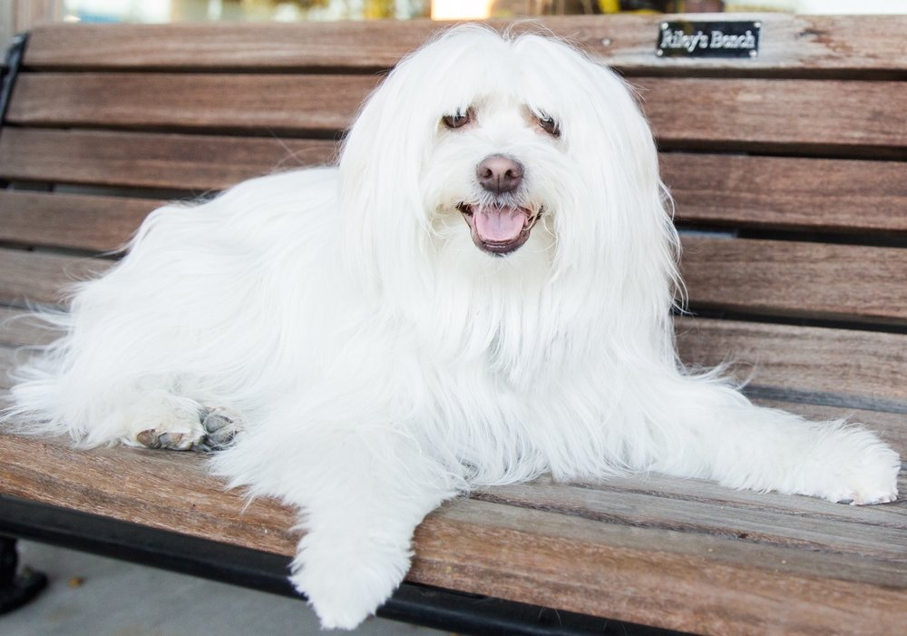 Riley is a fluffy Coton de Tulear - the inspiration for RiLEYDAWG.