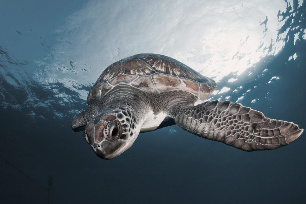 Snorkeling and Sea Turtles