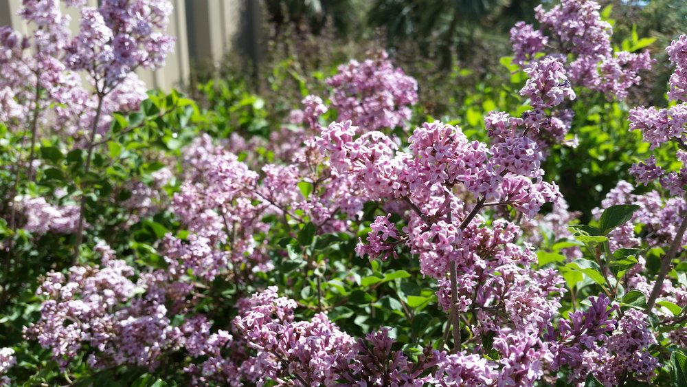 Dwarf Korean Lilac Photo Credits: Handy Andy's Nursery