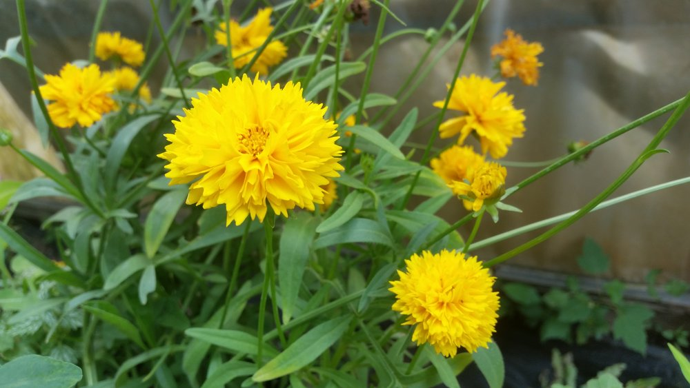 Sunray Coreopsis Photo Credits: Handy Andy's Nursery