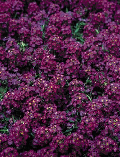 1362 (ALYSSUM WONDERLAND SERIES DEEP PURPLE).jpg