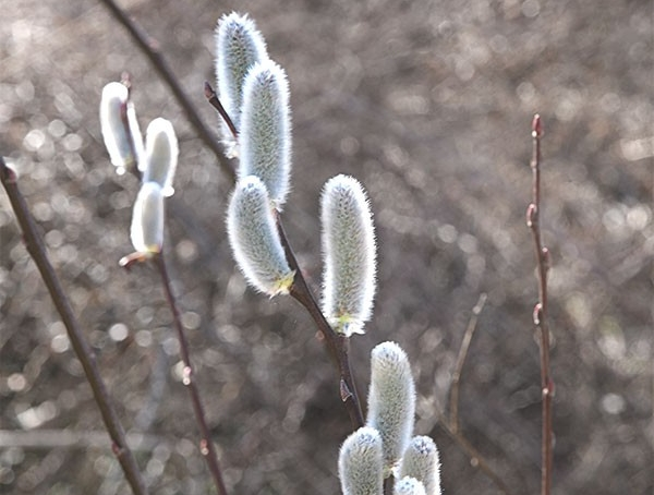 Photo Credits: Published to Web Fuzzy Catkins of the Pussy Willow appear before its leaves emerge in early spring.