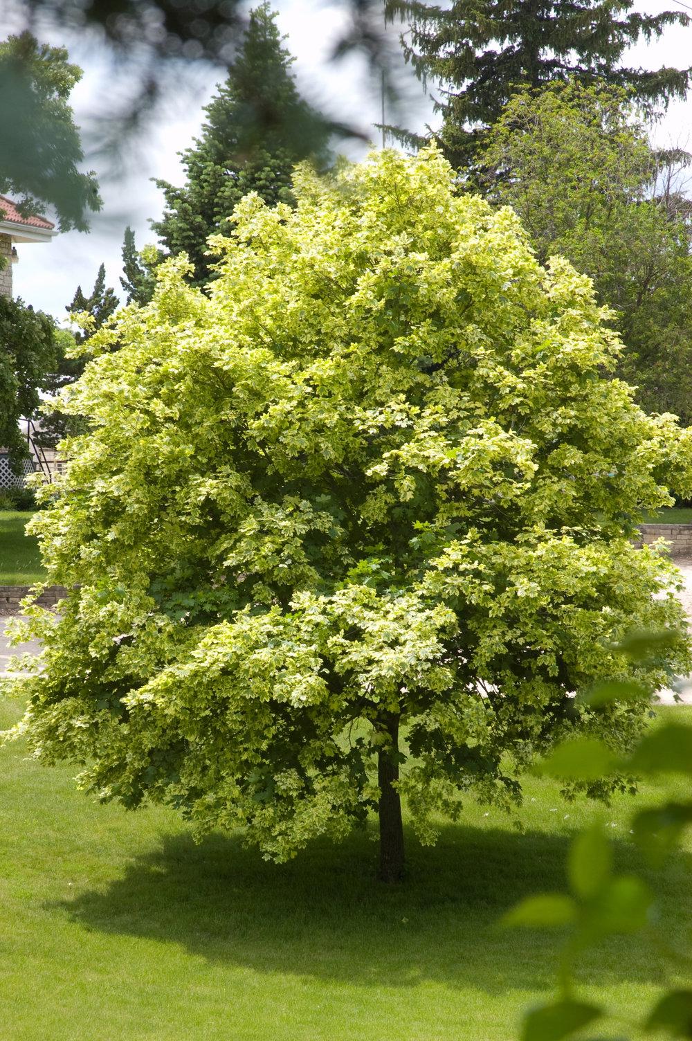 Variegated Norway Maple