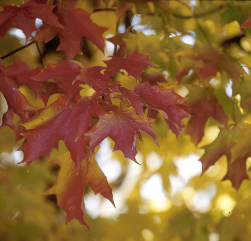 Fall Fiesta® Sugar Maple