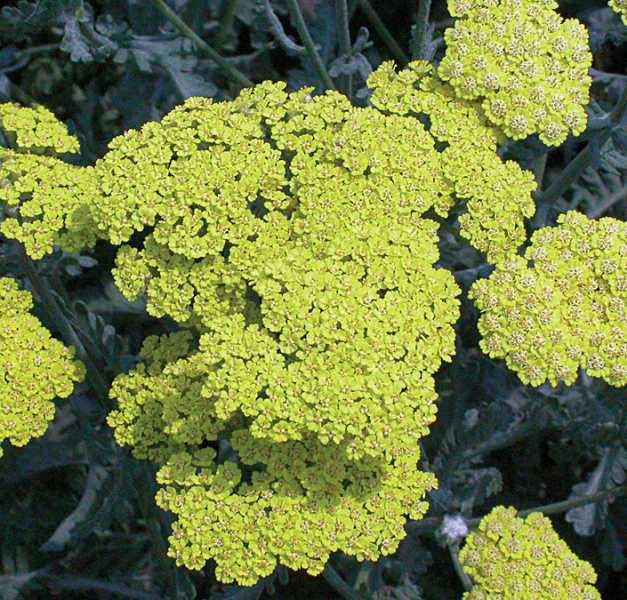 Achillea-Yarrow-Moonshine (flower).jpg