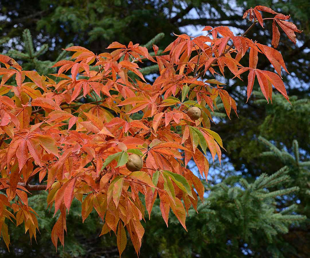AUTUMN SPLENDOR BUCKEYE