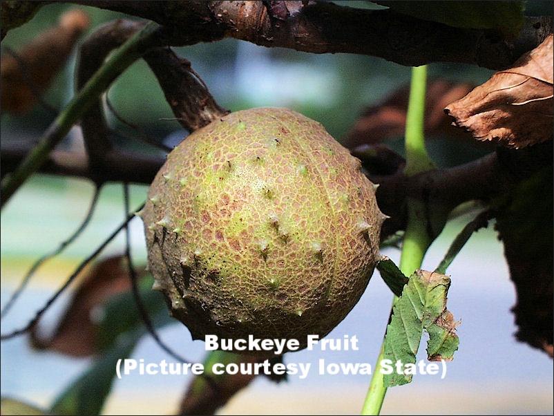 BUCKEYE4_fruit.jpg