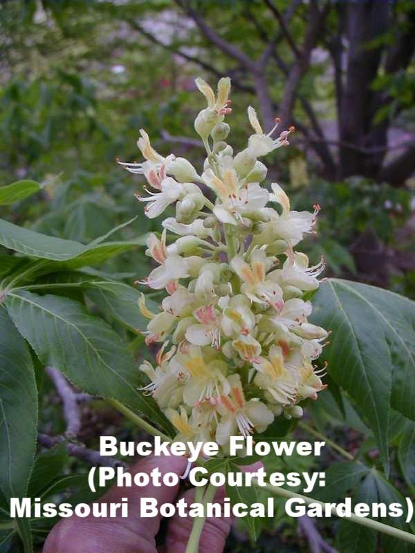 Aesculus  flower.jpg