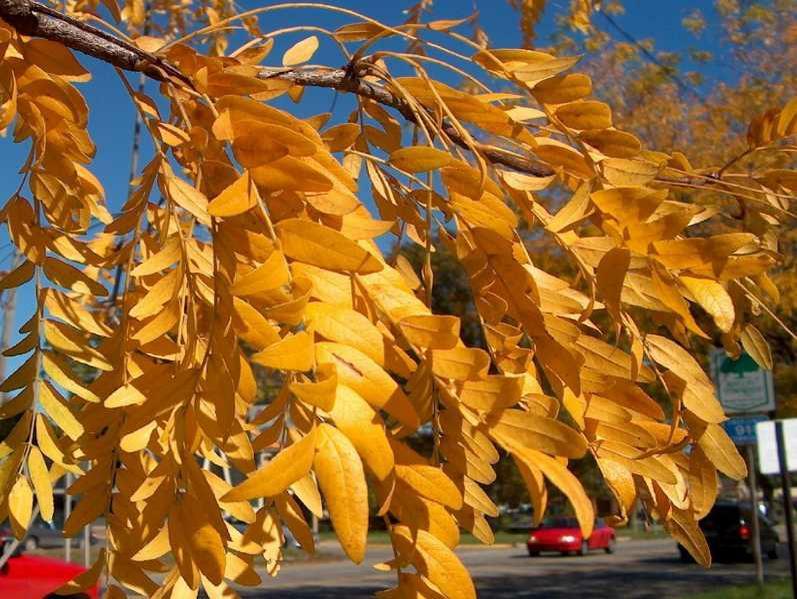 Honeylocust fall color.jpg