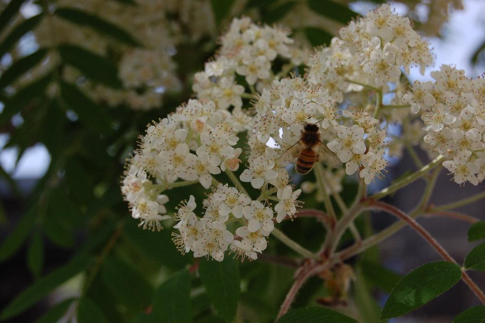 bee pollinating Mountain Ash.jpg