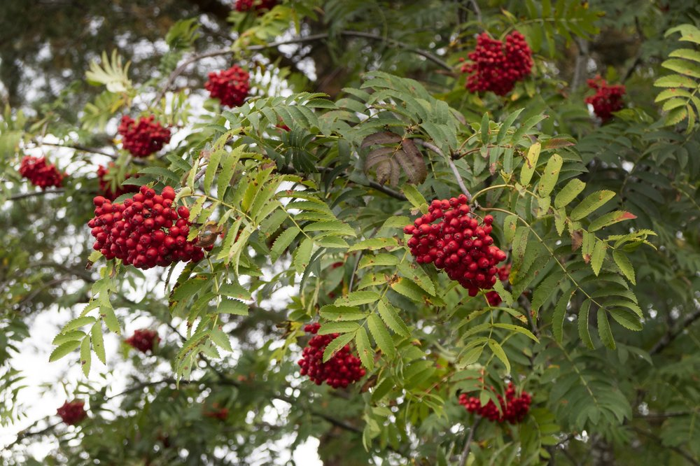 ash_european_mountain_leaves_and_berries_istock-614703054.jpg