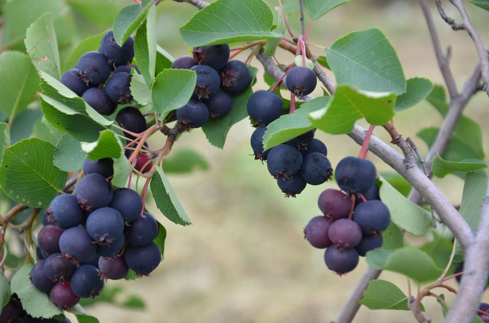RIPE FRUIT OF SERVICEBERRY