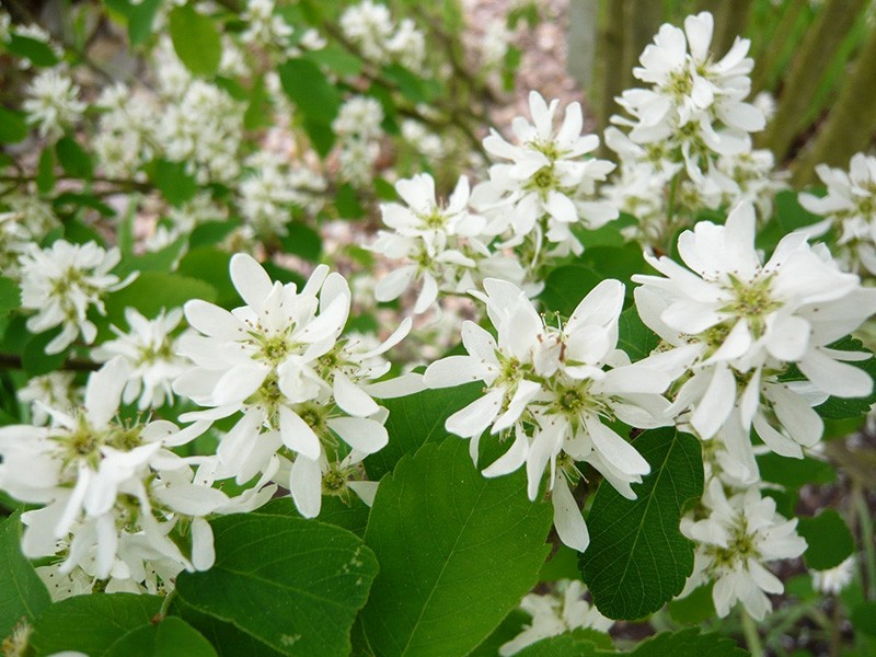 FLOWERS OF SERVICEBERRY