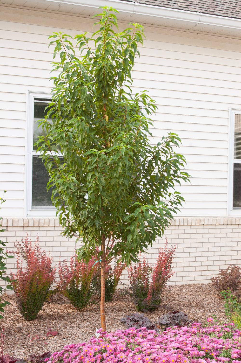 GOLDSPUR™ AMUR CHOKECHERRY