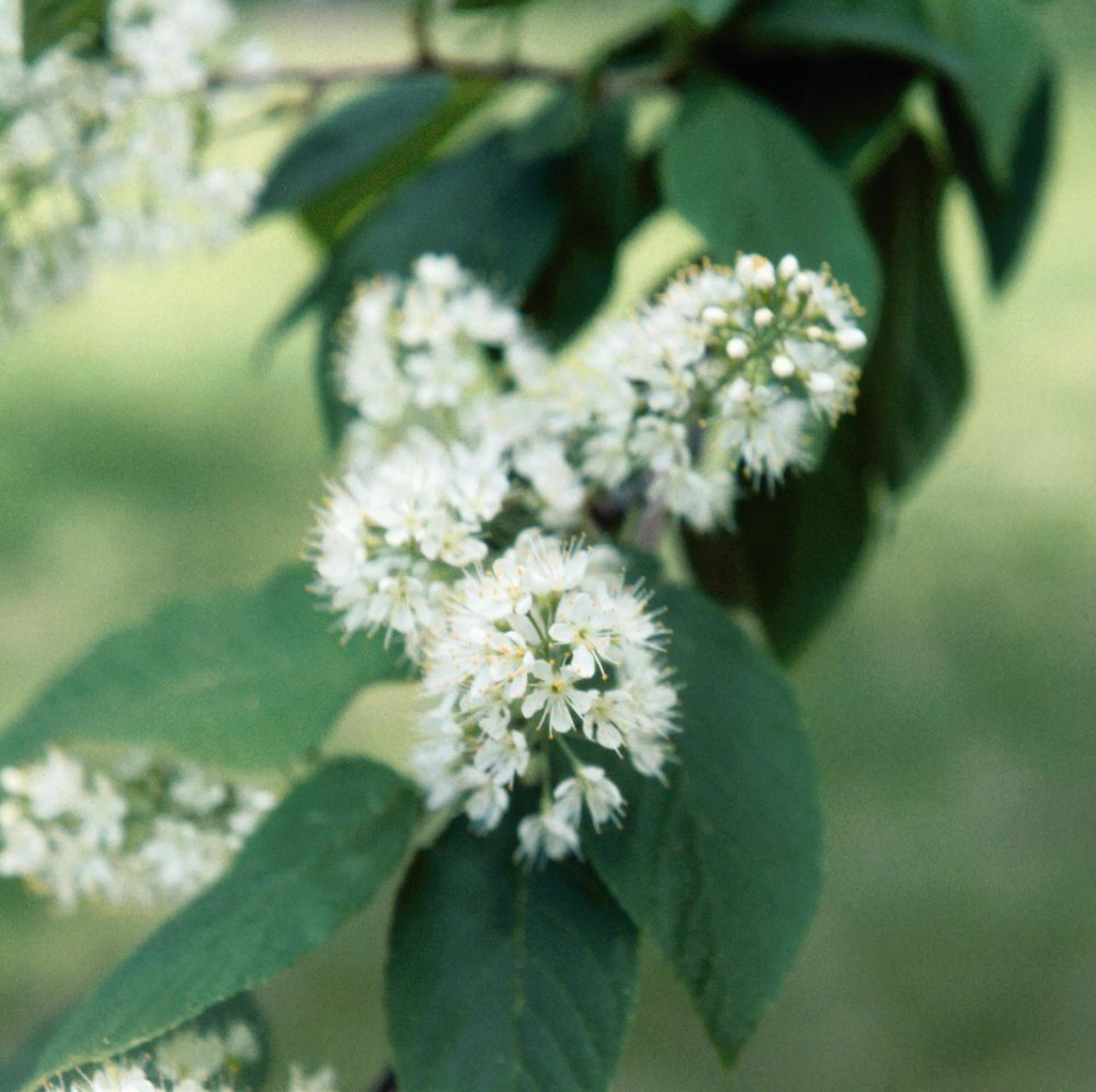 AMUR CHOKECHERRY FLOWERS