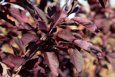 FOLIAGE OF CANADA RED CHOKECHERRY
