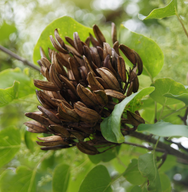 MATURE SEED POD OF TREE LILAC