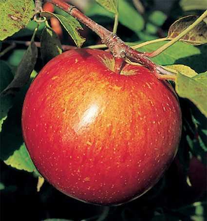 Haralson Apple.jpg