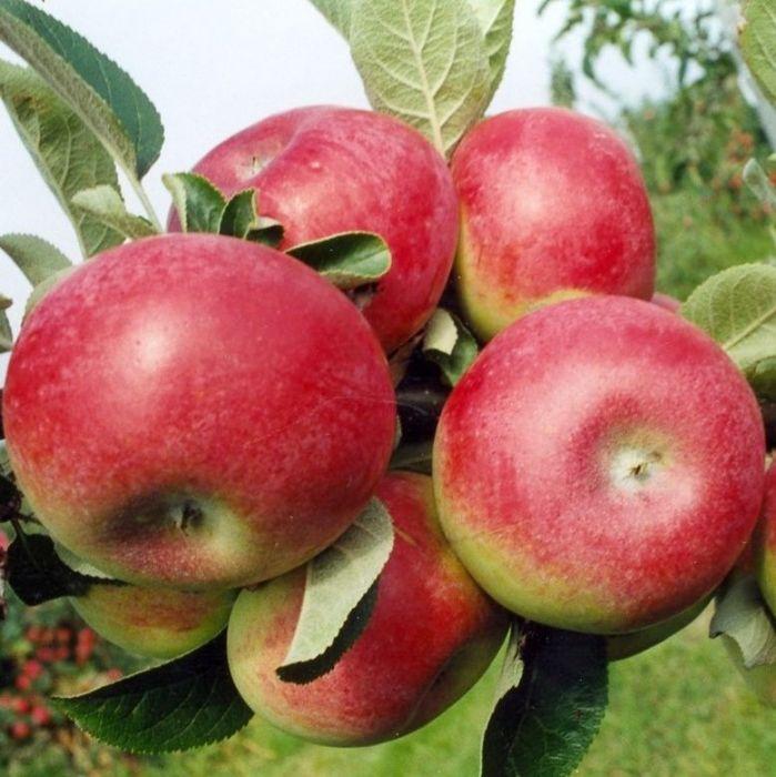 McIntosh Apple.jpg