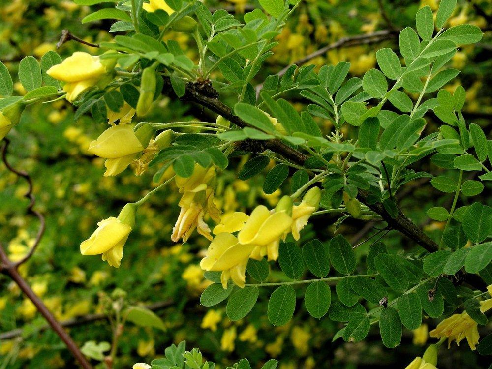 200505195749 Siberian Peashrub (Caragana arborescens) - Troy, Oakland Co.jpg