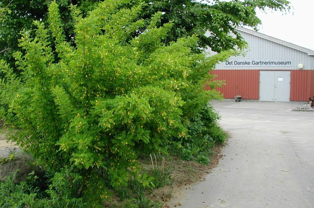 Caragana-arborescens-habit.JPG