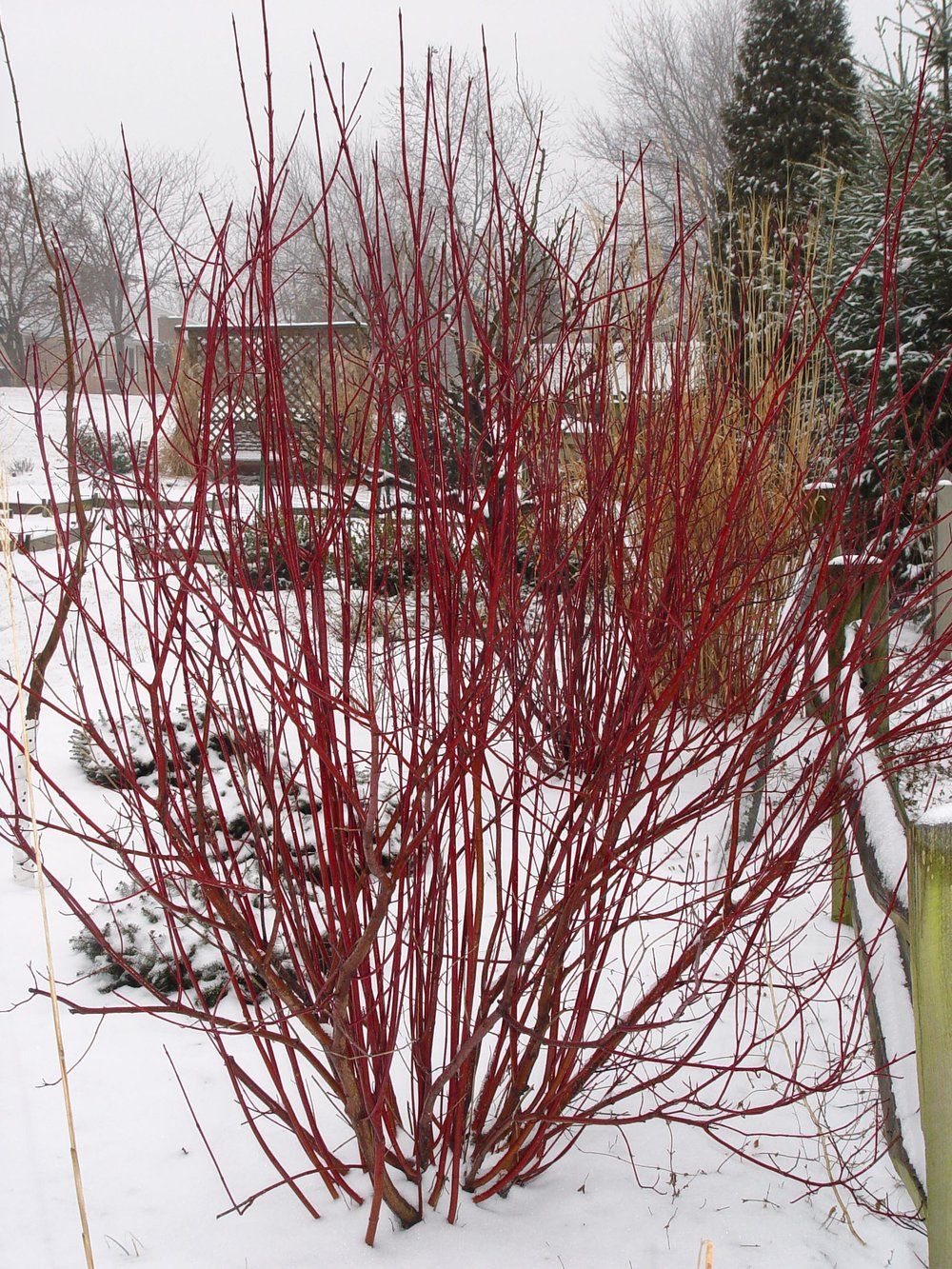 Cornus baileyi Red Twig Dogwood.jpg
