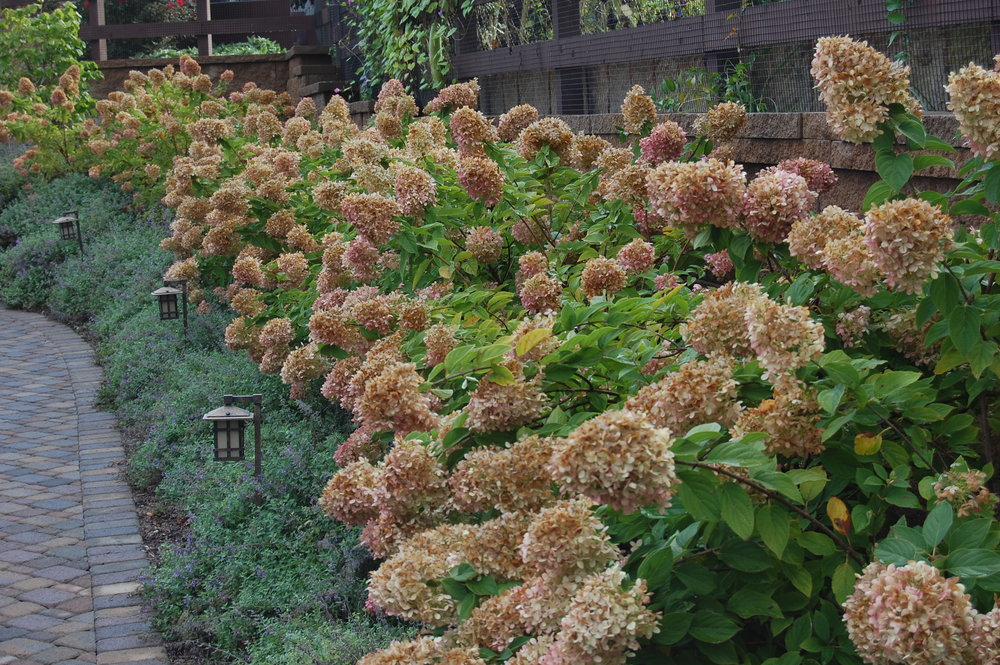 Hydrangea-paniculata-Limelight(Aged Blooms).jpg