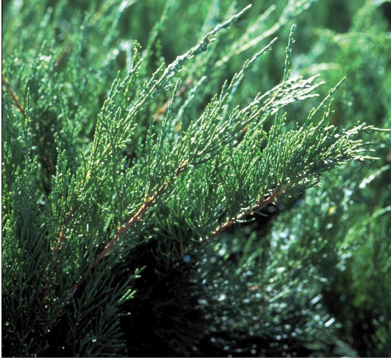 1036-2_JuniperuschinSeaGreen_CC.jpg.jpg