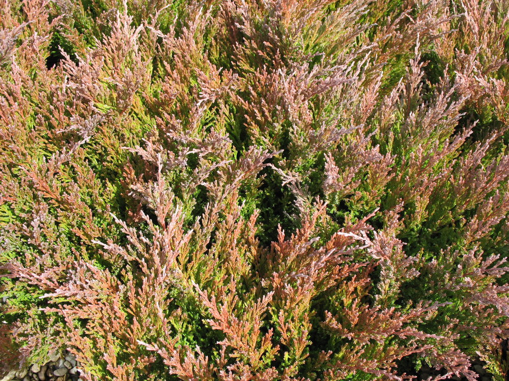 juniperus horizontalis fall color.jpg