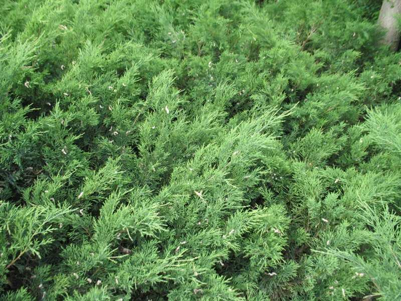 juniperus-sabina-SavinJuniper.jpg