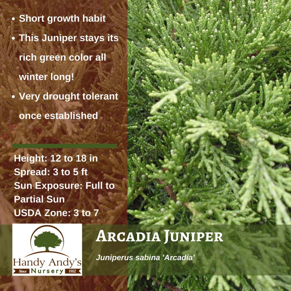 Arcadia Juniper (Juniperus sabina).png