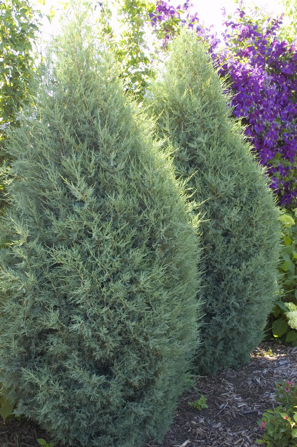 juniperusscopmedora1-1063.jpg
